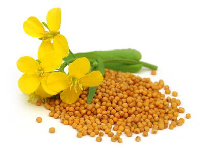 Mustard flower with seeds over white background